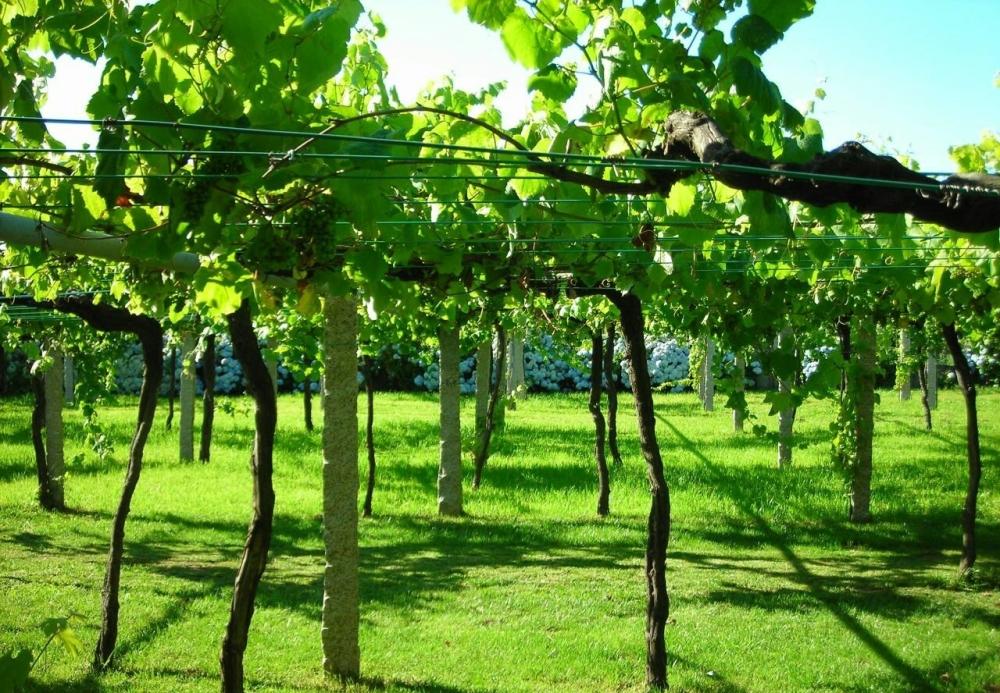 galician_vineyard_with_wide_vine_spacing205291038.jpg